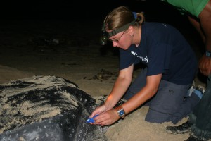 Debbie Hadley microchipping a leatherback sea turtle on a Trinidad beach.